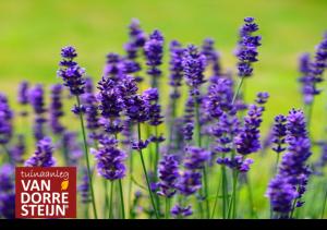 Inspiratie Landelijke tuin Lavendel tuinaanleg van Dorresteijn